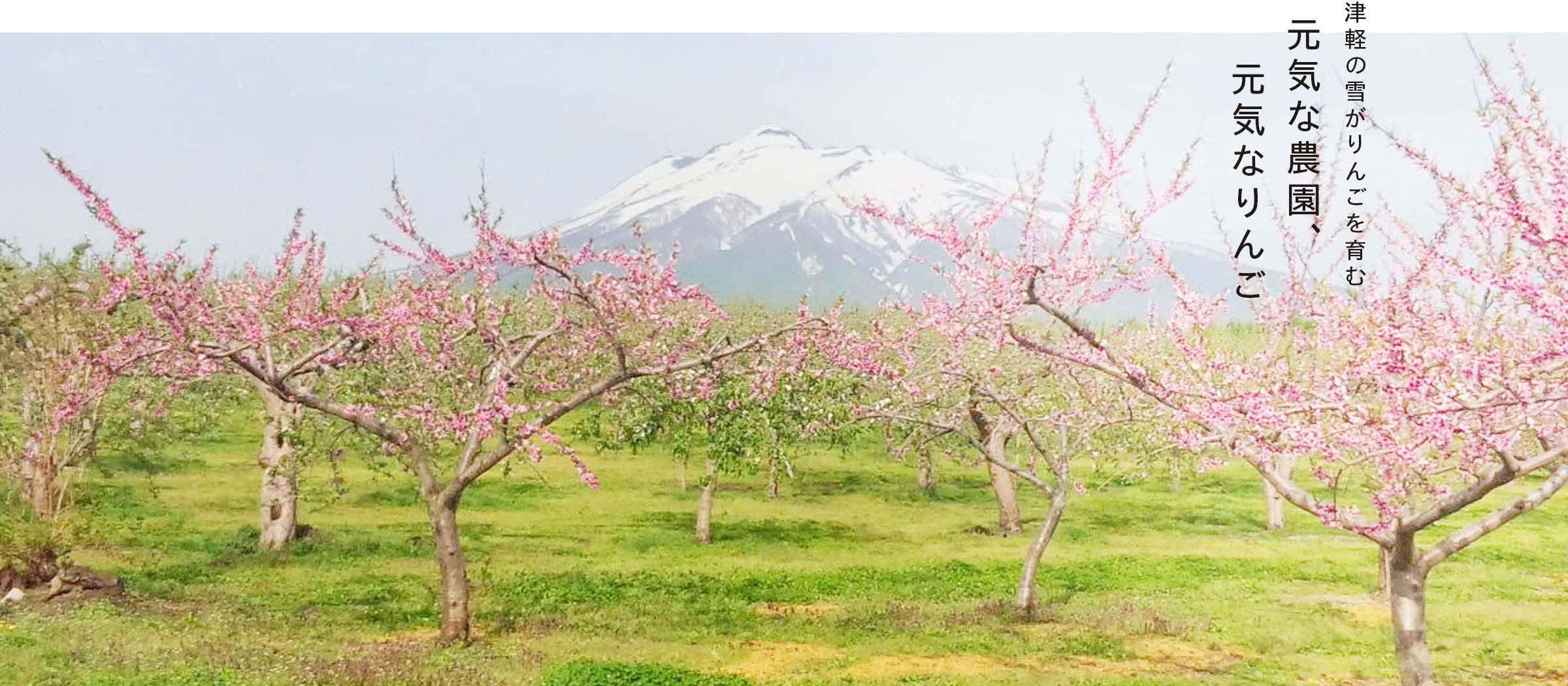 津軽の雪がりんごを育む 元気な農園、元気なりんご